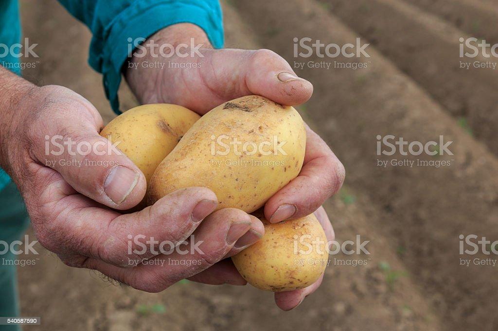 Bauer zeigt seine Kartoffeln stock photo