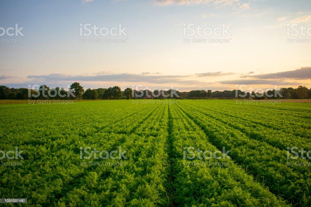 Bauernschaft Mit Erntereifen Karottenfeld Bei Abendlicht. – Foto