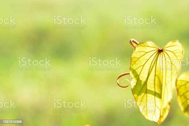 Bauhinia aureifolia in sunshine with light green background left picture id1057515368?b=1&k=6&m=1057515368&s=612x612&h=3w4qtruh1lhp4rxkcp3z92g3njlnnkxqp1dlqvztpce=