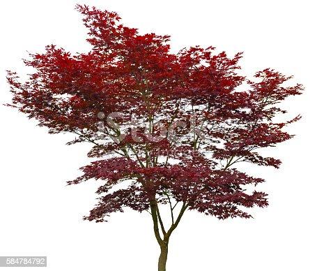 Roter Japanischer Fächerahorn, 20 Jahre alter Acer palmatum, Atropurpureum.