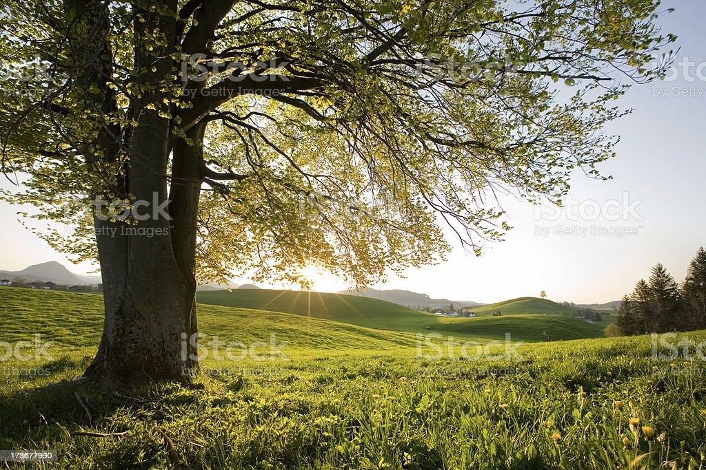 bavarian beach tree right in germany stock photo