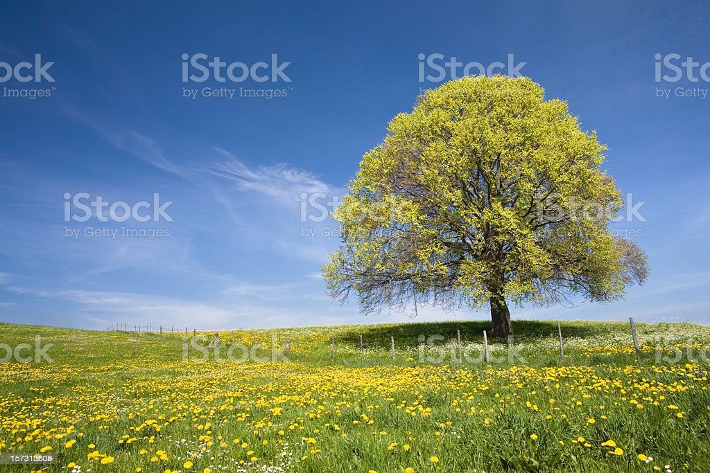 bavarian beach tree right royalty-free stock photo