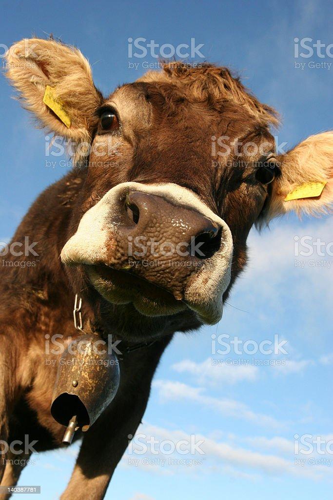 Bavarian cow royalty-free stock photo