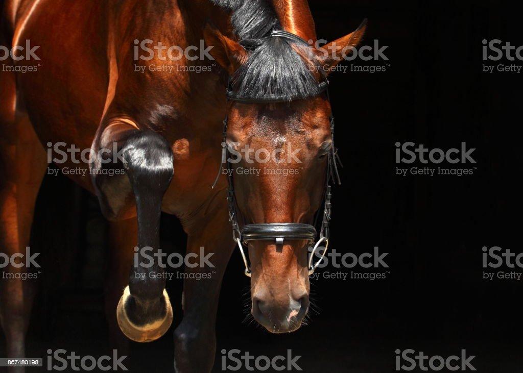 Bavarian racehorse low key portrait stock photo