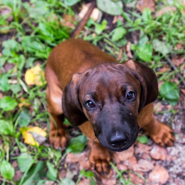 Bavarian scent hound puppy picture id936611210?b=1&k=6&m=936611210&s=612x612&w=0&h=kn lhhm3lrucriuyn46ormklanmr1lzcmmqjaqs ncm=