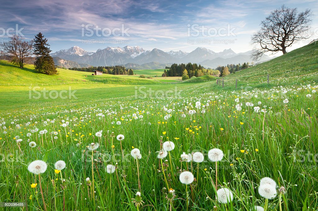bavarian spring meadow with old oak tree stock photo
