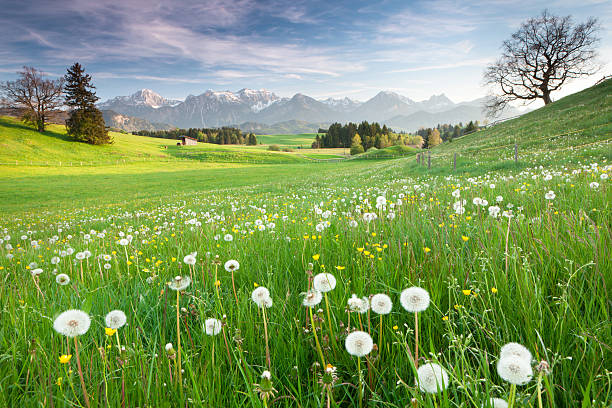 bavarian spring meadow with old oak tree spring meadow in the bavarian allgau bavarian alps stock pictures, royalty-free photos & images