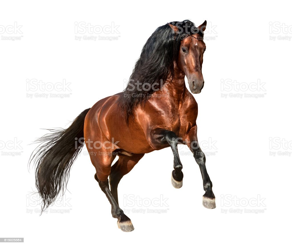 bay andalusian horse galloping isolated on white background stock photo