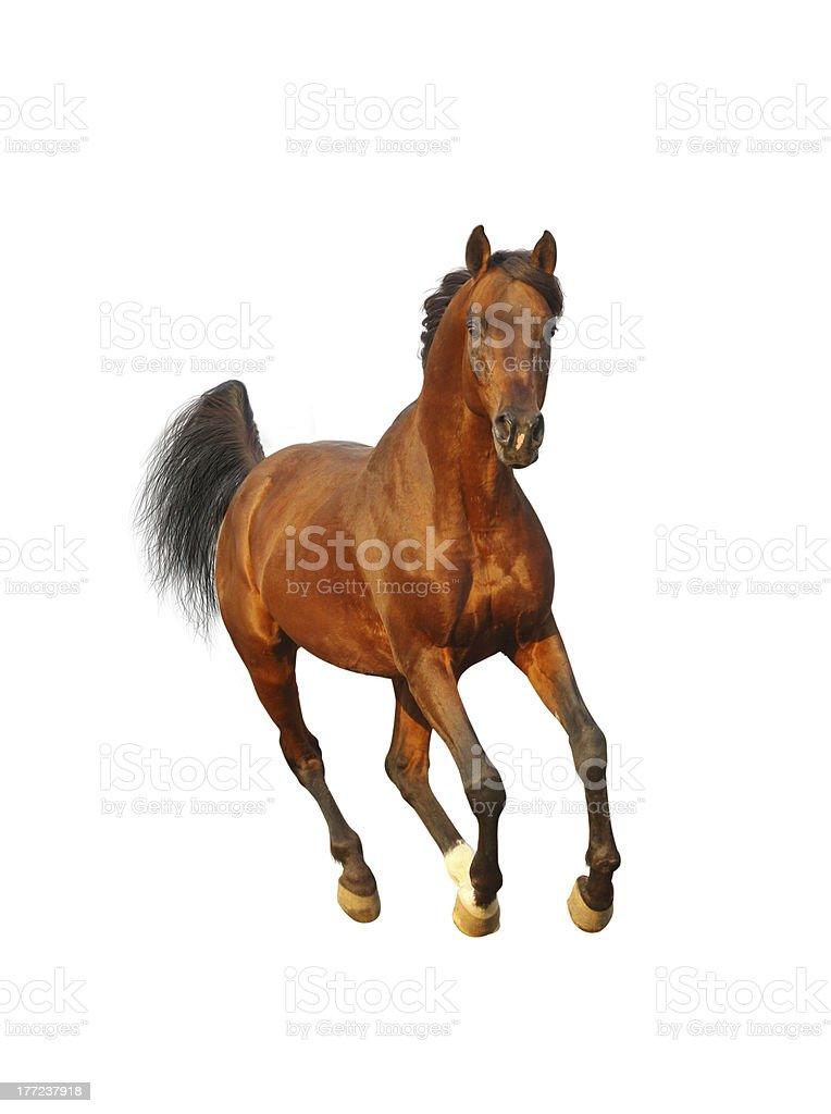 bay arab stallion royalty-free stock photo