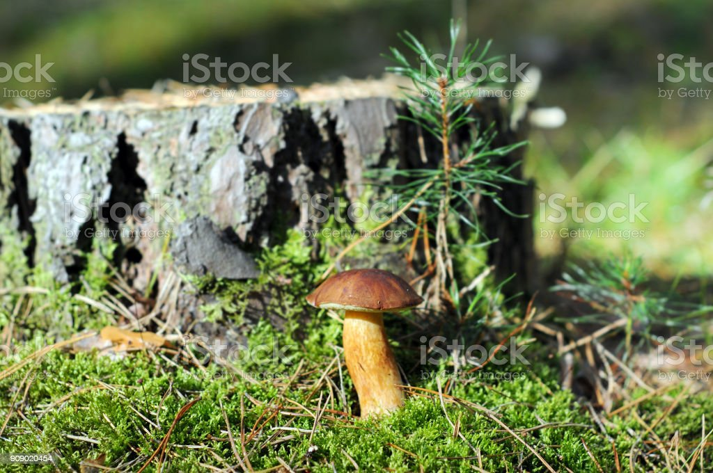 bay bolete mushroom  (Imleria badia) in forest. stock photo