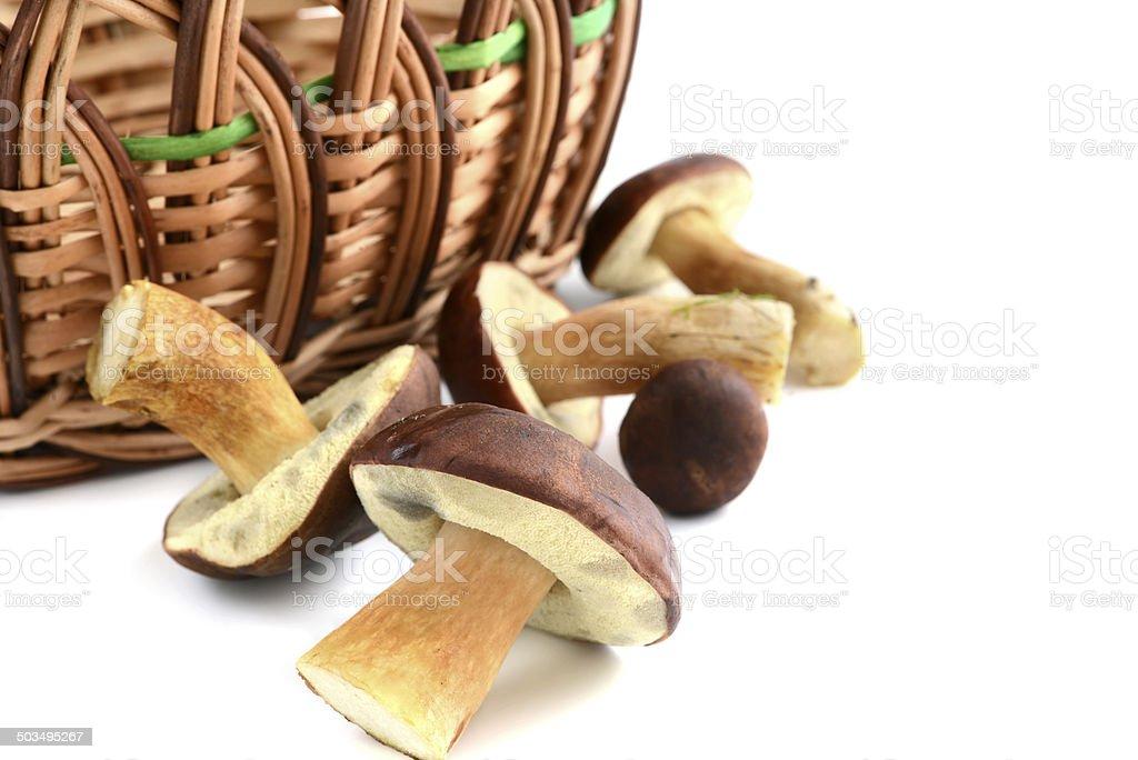Bay Bolete mushroom (Boletus badius) stock photo