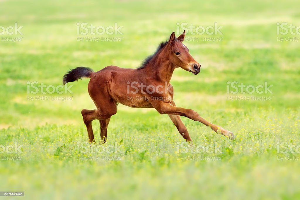 Bay colt run stock photo