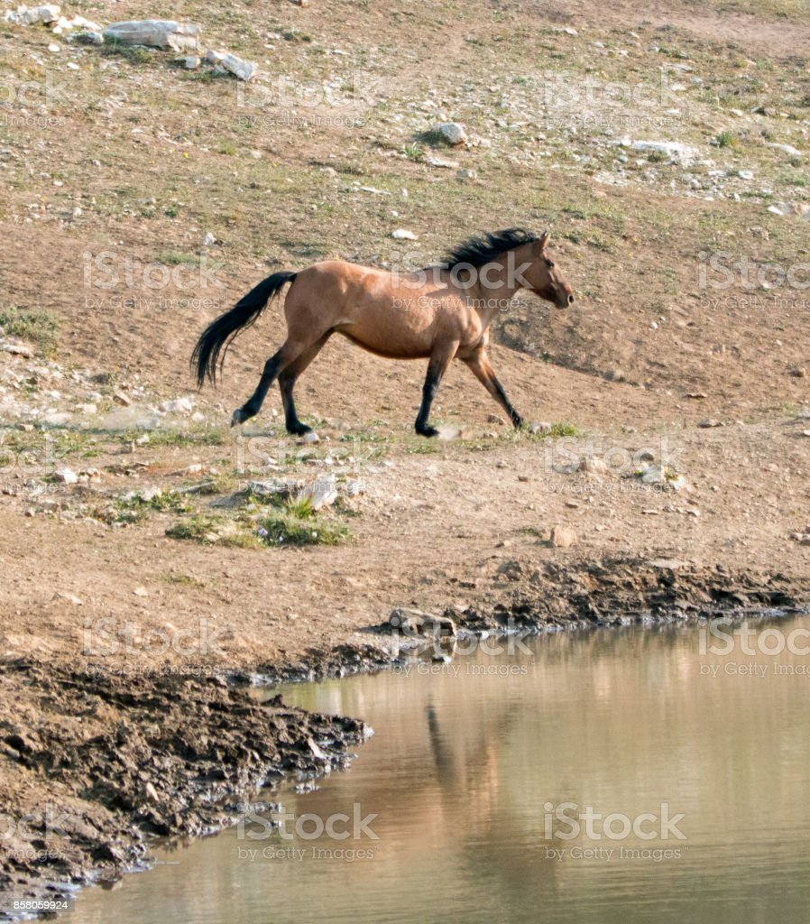 Bay Dun Buckskin Stallion Wild Horse Running Next To Water Hole In The Pryor Mountains Wild Horse Range On The State Border Of Montana And Wyoming United States Stock Photo Download