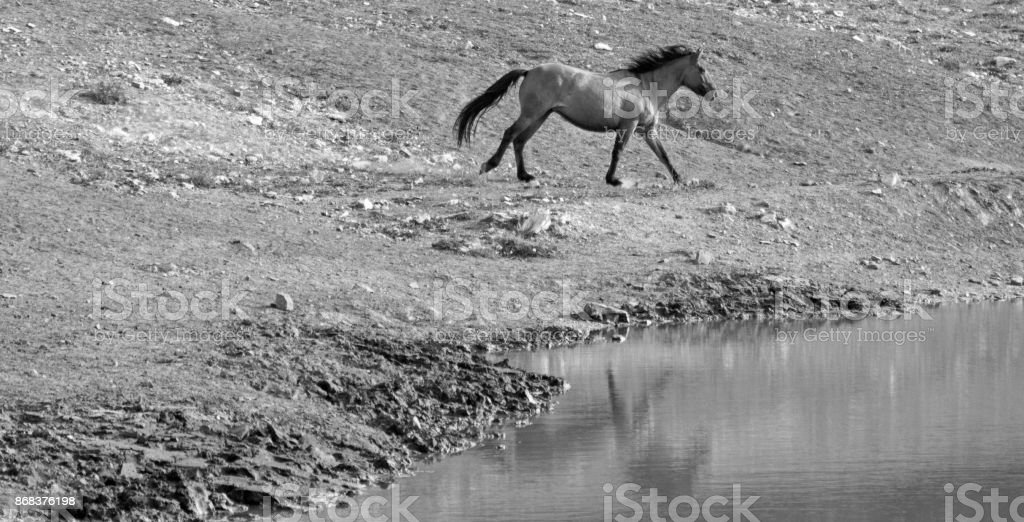Bay Dun Buckskin Stallion wild horse running next to water hole in the Pryor Mountains Wild Horse Range on the state border of Montana and Wyoming United States stock photo