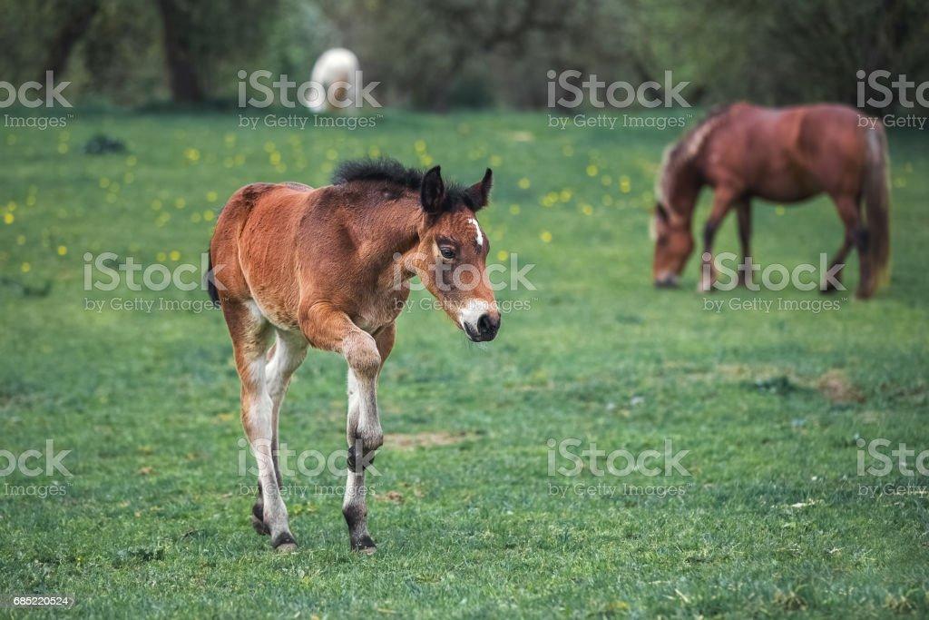 Bay foal plays through the spring garden foto de stock royalty-free