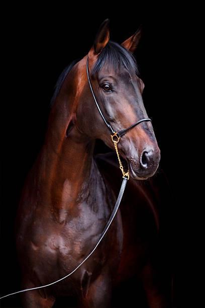 caballo bahía aislada sobre fondo negro - caballo familia del caballo fotografías e imágenes de stock
