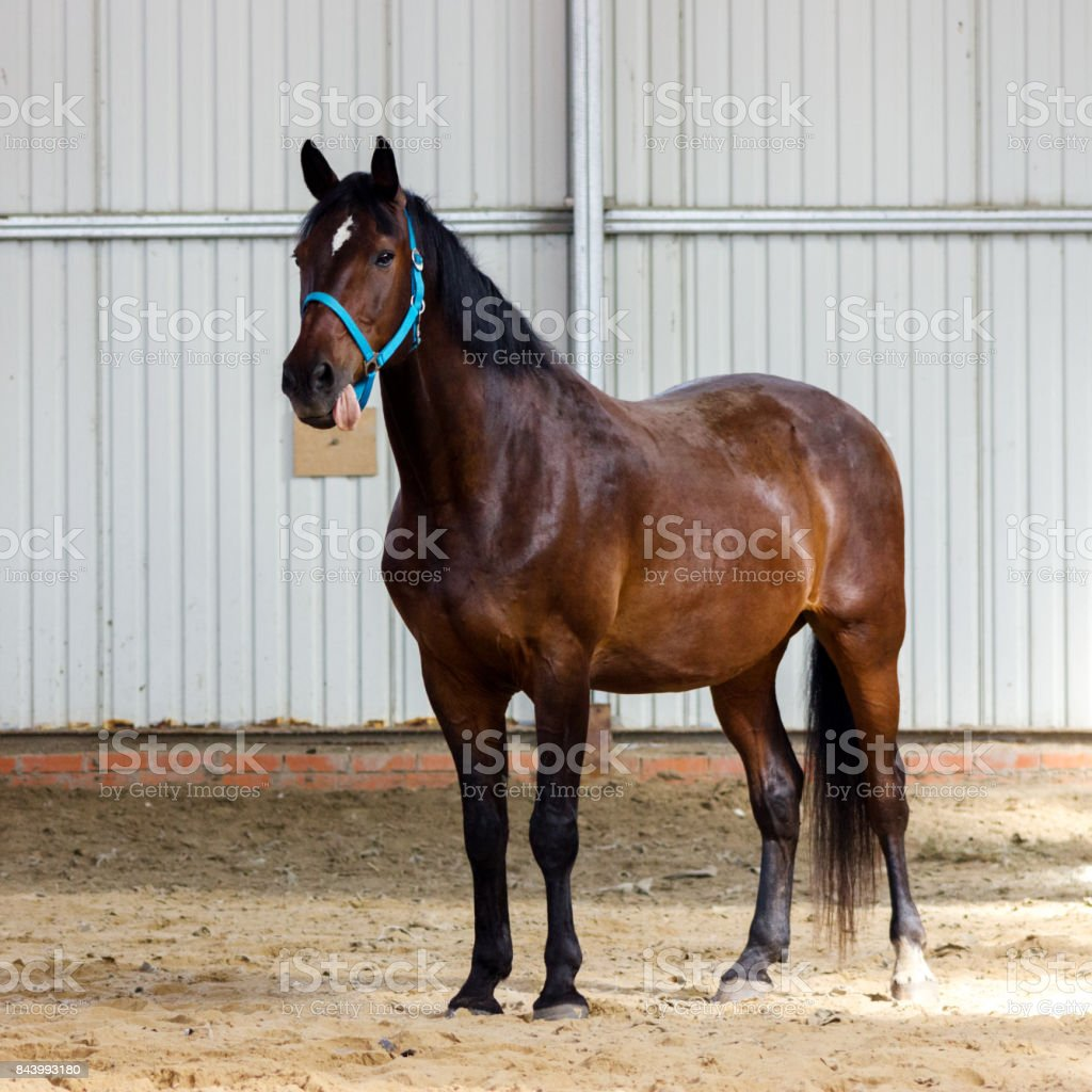 Bay horse learning to work without bridle on manege stock photo