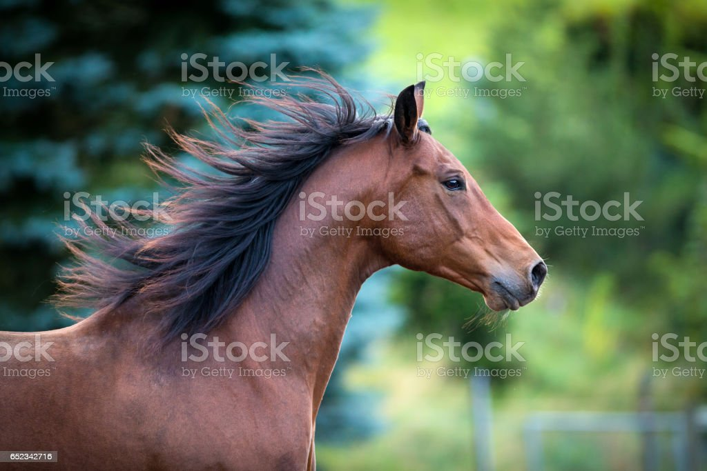 Bay horse portrait on green background stock photo