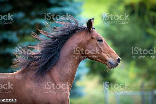 Photo of Bay horse portrait on green background