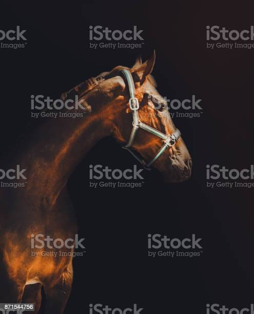 Photo of Bay horse portrait over a black background.