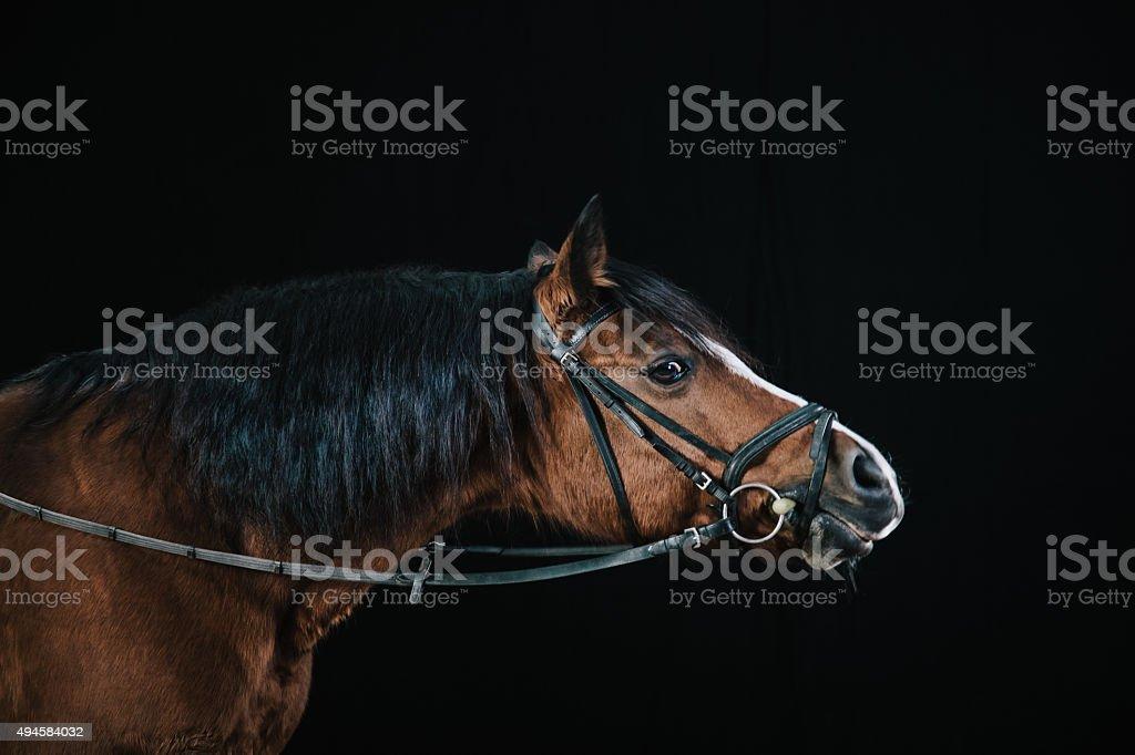Bucht Pferd Porträt – Foto