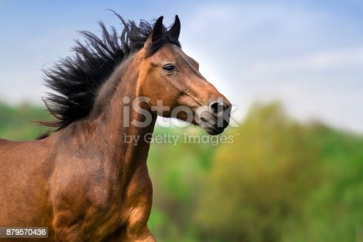 Bay stallion with long mane portrait in motion close up
