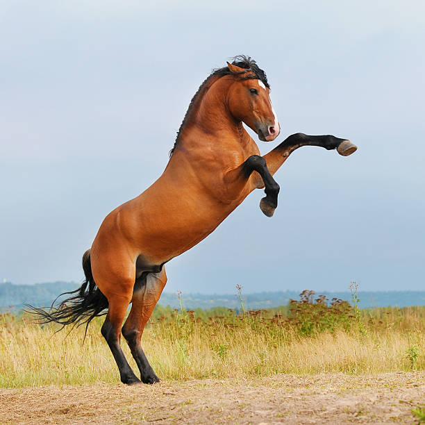 bay horse rearing up on the meadow stock photo