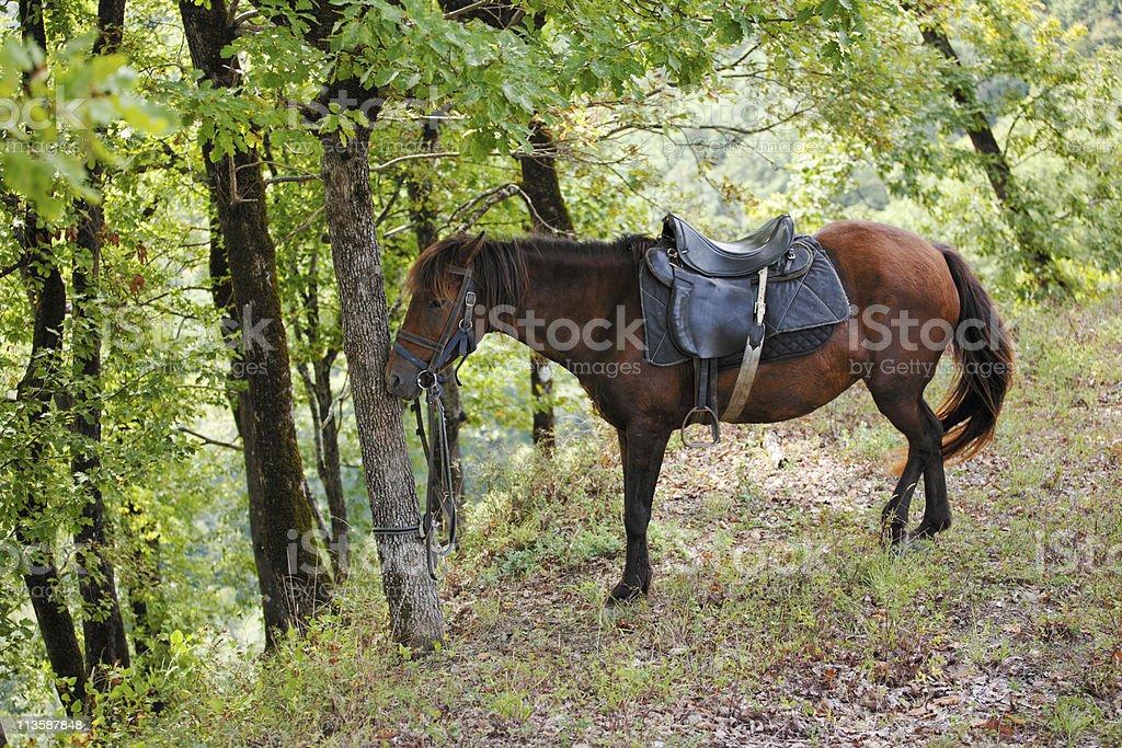 Bay Horse Resting stock photo