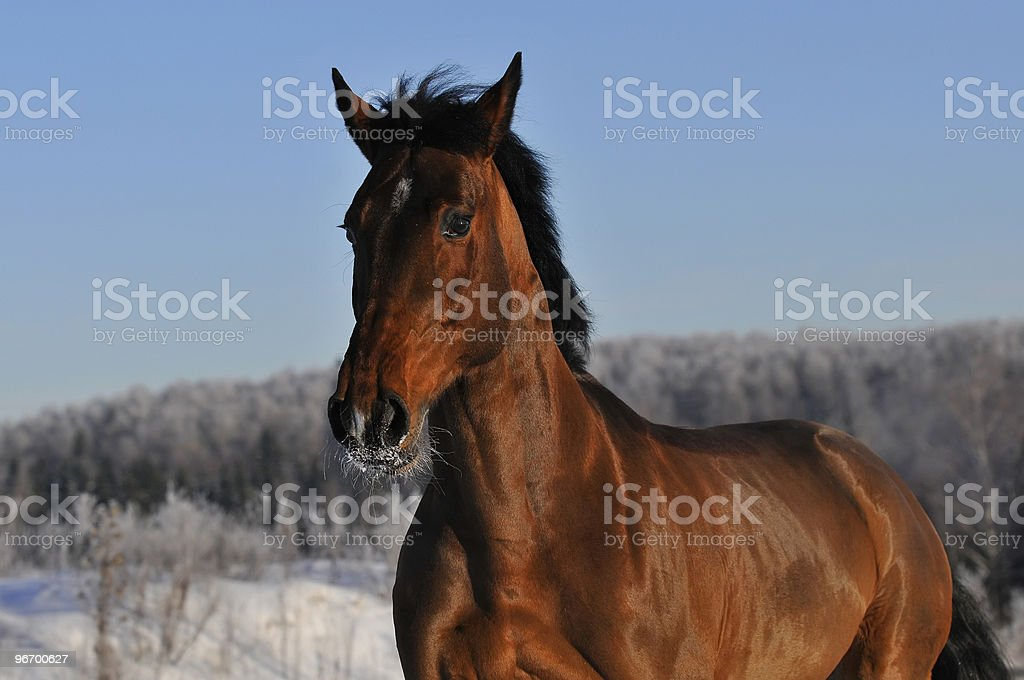 bay horse run gallop in winter royalty-free stock photo