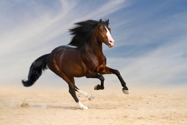 灣馬運行 - 種馬 個照片及圖片檔