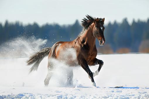 Bay horse running on a snowy field.