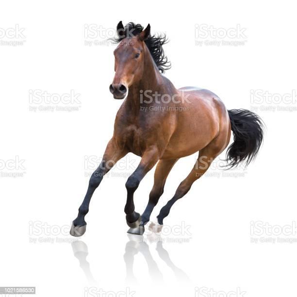 Photo of Bay horse runs on white background