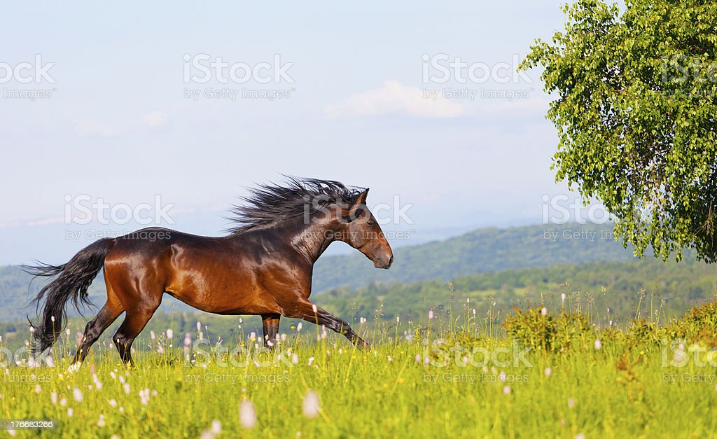 bay horse skips on a meadow against mountains royalty-free stock photo