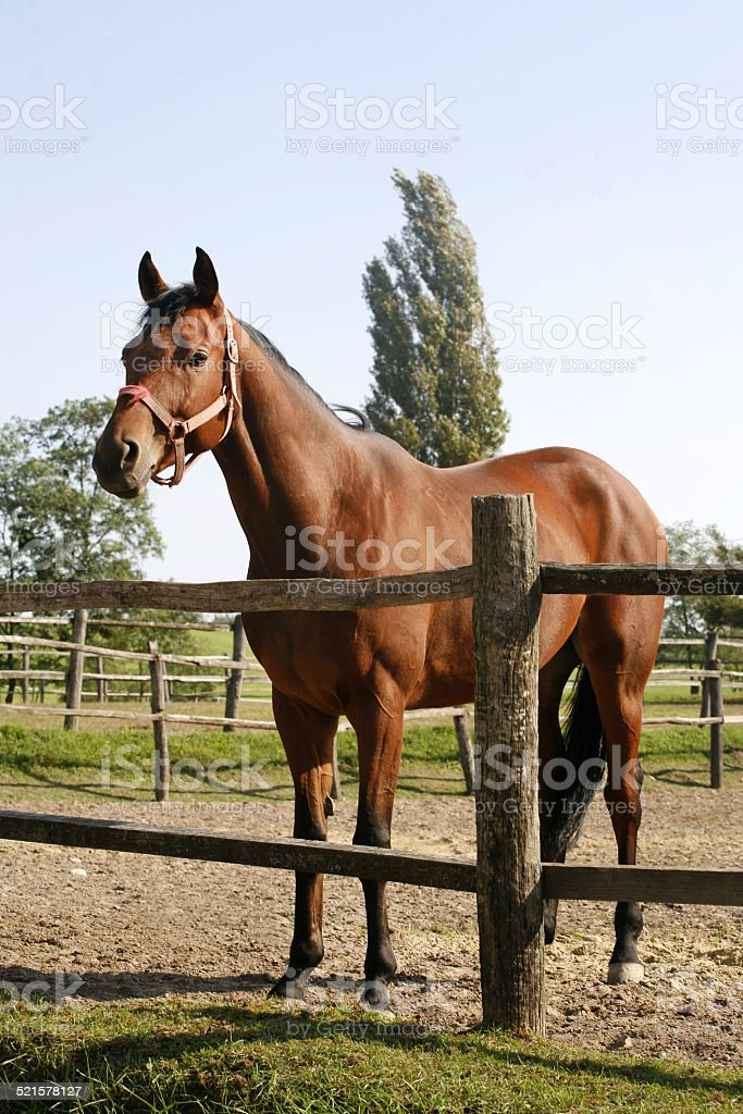 Bay horse stands in summer corral stock photo