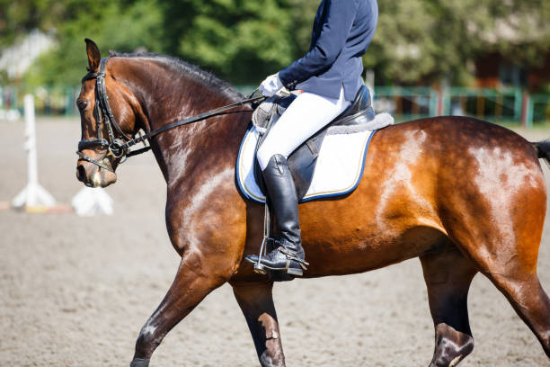 bay horse with rider at dressage competitions - horse bit stock photos and pictures