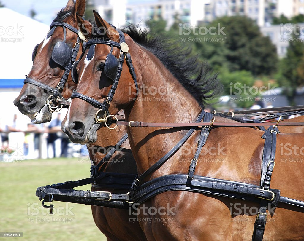 bay horses royalty-free stock photo
