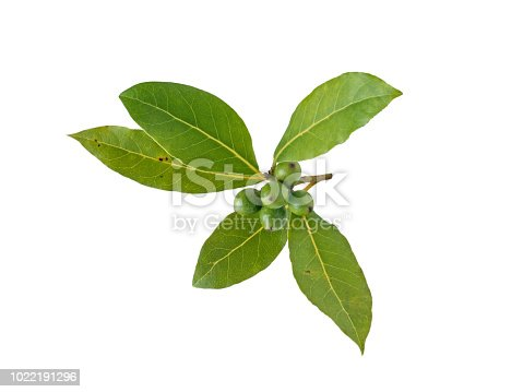 istock Bay laurel leaves and berries isolated on white 1022191296