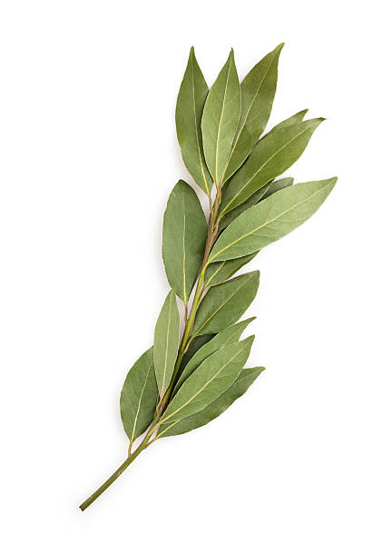 bay leaf branch stock photo