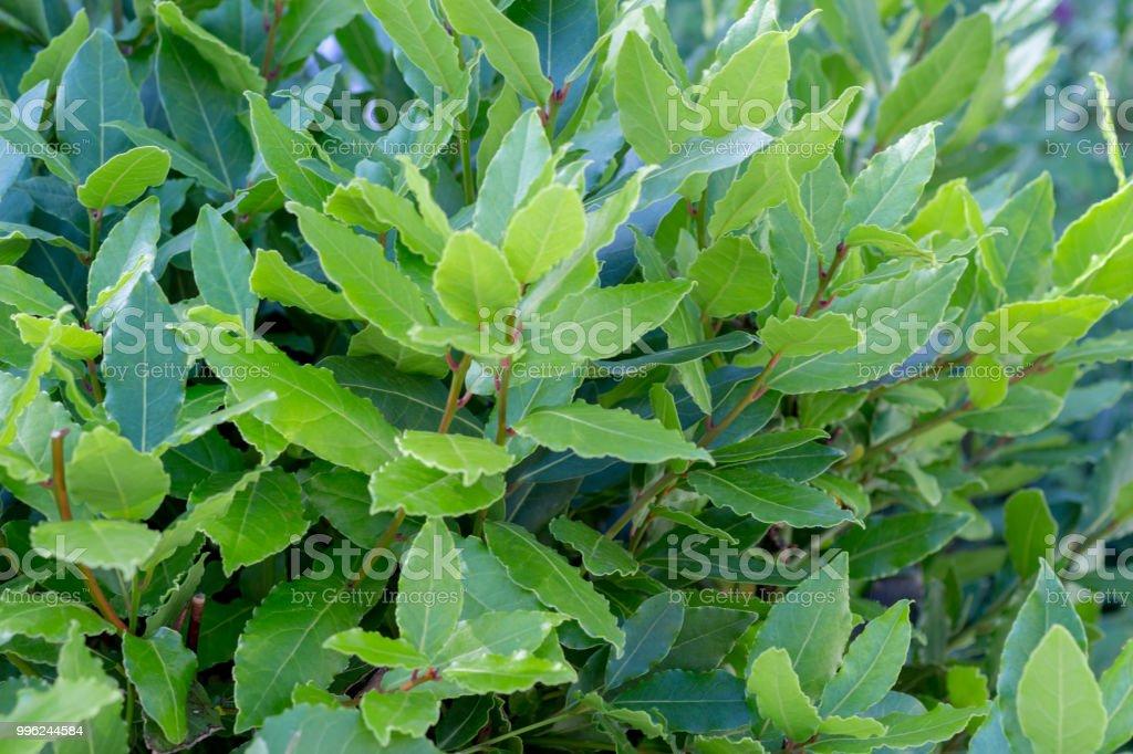 Bay leaf bush stock photo