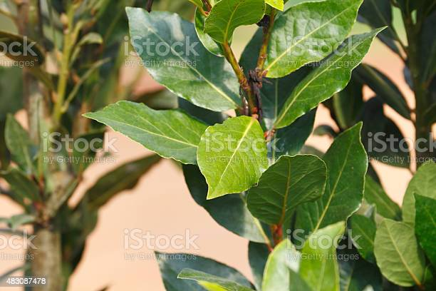 Bay Leaf Stock Photo - Download Image Now