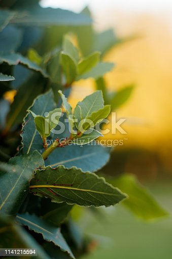 Bay leaf tree. The leaves of the tree at sunset. Fragrant tree