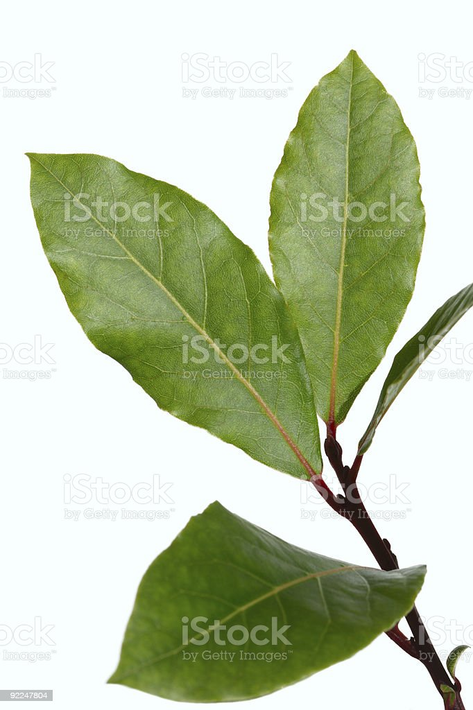 Bay leaves branch isolated on white background royalty-free stock photo