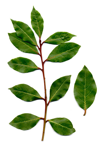 bay leaves, Laurus nobilis stock photo
