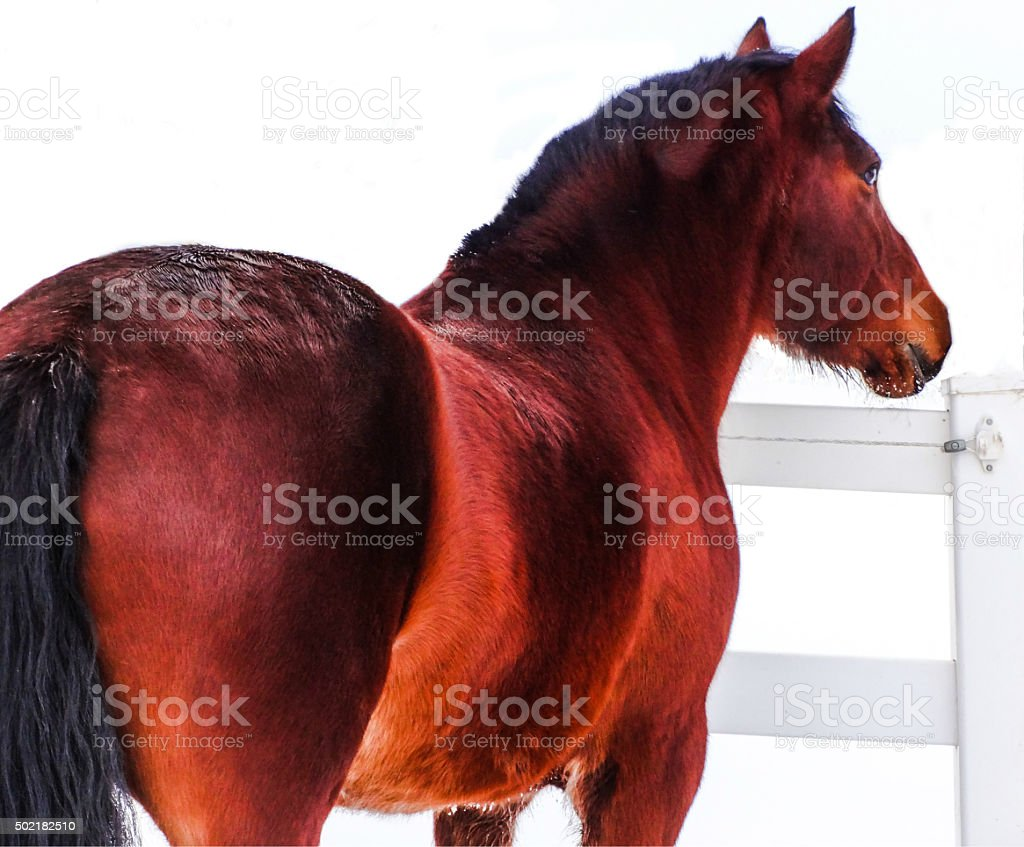 Bay Mare in Winter stock photo