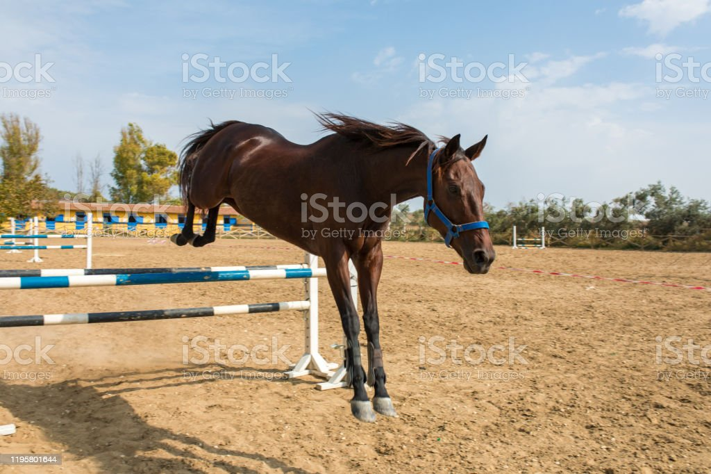 Bay Or Brown Racehorse Jumping Over The Fences Horse Jumping Over Obstacle During The Training Exercise Or Practise Stock Photo Download Image Now Istock