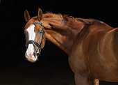 Bay purebred racehorse low key portrait in black background