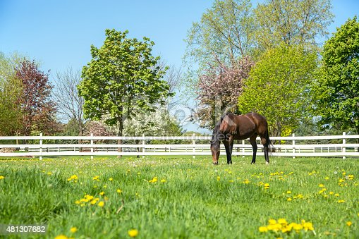 Bay (brown and black) Quarter Horse grazing in a springtime pasture. The trees in the background are blooming, and yellow dandelions are in the pasture. A white rail fence borders the pasture.