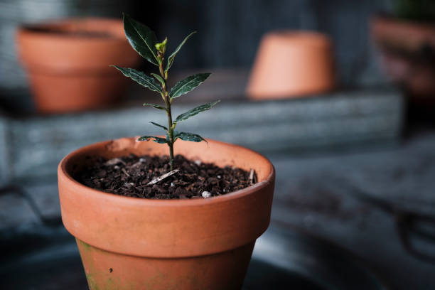 Bay Seedling in a Terracotta Pot stock photo