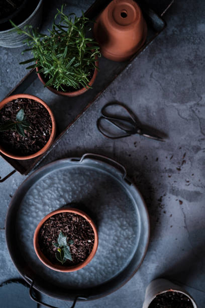 Bay Seedlings and Rosemary in Terracotta Pots stock photo