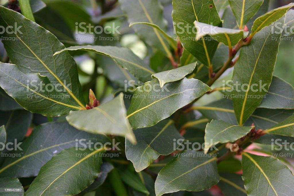 Bay tree close-up royalty-free stock photo